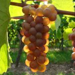 Tourisme Alsace : Route des vins - vigne vignoble